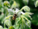 Borago offinalis (bourrache officinale) - Apis (Abeille)