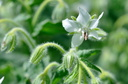 Borago offinalis (Bourrache officinale)