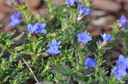 Lithodora diffusa Heavenly Blue