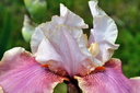 Iris Germanica (Iris Cameo Wine)