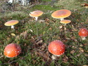 Amanita muscaria (amanite tue-mouches)