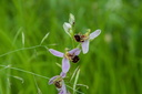 Ophrys apifera (Ophrys abeille)